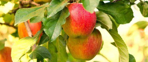 Obstbaumschnitt - Apfelbaum